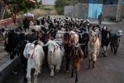 گزارش تصویری از پشم چینی گوسفندان در بهار