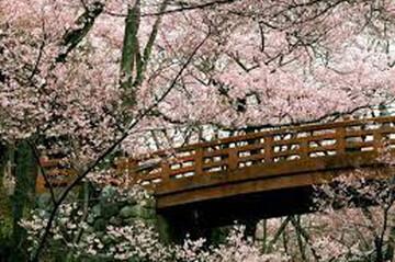 هانامی فصل شکوفه های گیلاس یا سیزده بدر ژاپنی / فیلم
