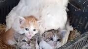 نگهداری و مراقبت مرغ از سه بچه گربه یتیم / تصاویر