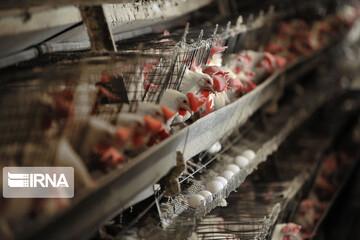 کاهش قیمت تخممرغ در مرغداریها/ عمده فروشان و خرده فروشان به حق خود قانع نیستند