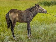 علاقه عجیب یک اسب به شنیدن موسیقی / فیلم