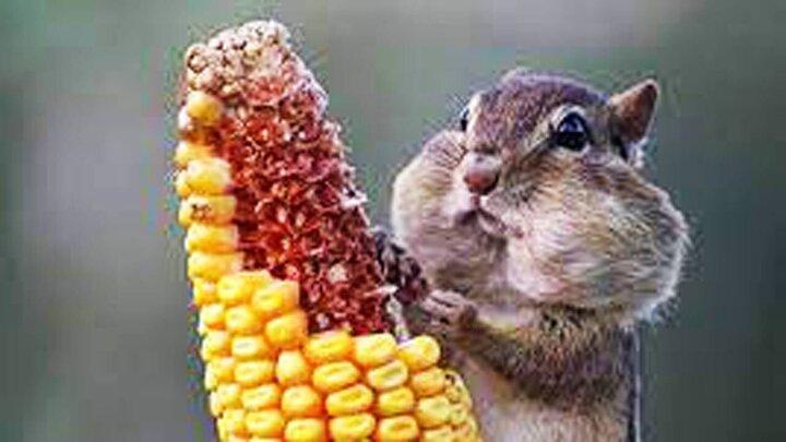 نجات سنجاب گیرافتاده در تنه درخت به خاطر افزایش وزن / فیلم
