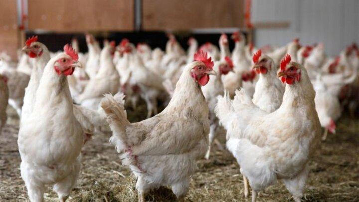 بازار با انبوه عرضه مرغ مواجه است/ واردات مرغ احتمالا لغو میشود