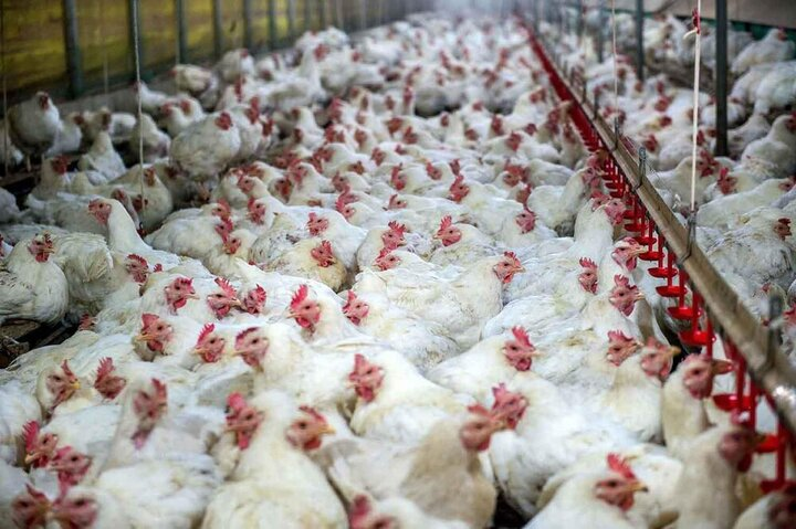سرقت مردم از یک مرغداری در نیکشهر صحت دارد؟