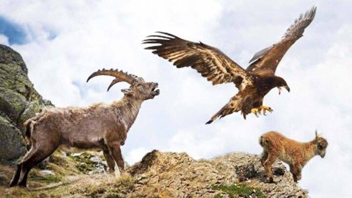 شکار بز کوهی توسط عقاب / فیلم