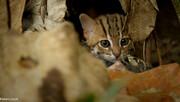 کوچکترین گربه جهان به اندازه کف دست / فیلم