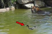 صحنه حمله جسورانه اردک به ببر وحشی / فیلم