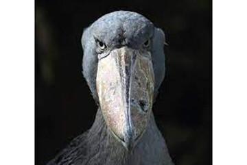 لک لک نیل، عجیبترین پرنده دنیا / فیلم