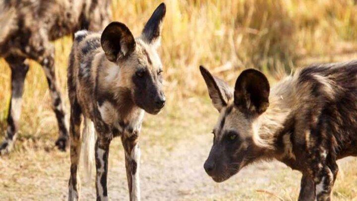 هجوم سگهای وحشی به چیتا برای تصاحب غذایش / فیلم