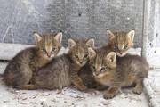 ۳ بچه گربه وحشی در حال انقراض ایرانی نجات یافتند/ فیلم