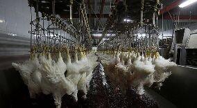 آیا وجود مرغهای تریاکی و تزریق هورمون به مرغ صحت دارد؟ / فیلم
