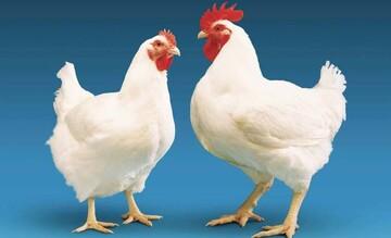 ماجرای مثبت شدن تست اعتیاد پس از خوردن جوجهکباب تهیه شده از مرغهای تریاکی چه بود؟!