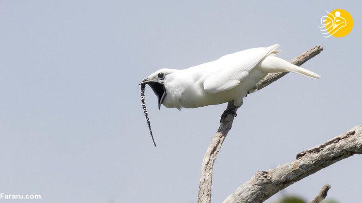 بلندترین صدای جهان مربوط به کدام پرنده است؟