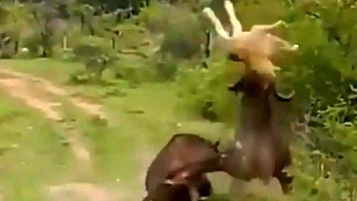 حمله بوفالو به شیر گرسنه / فیلم