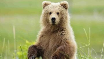 ترس عجیب خرس از سگهای کوچک / فیلم