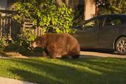 دو سگ خانگی خرس گرسنه را فراری دادند/ فیلم