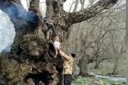 درخت ۷۰۰ ساله قطع و به آتش کشیده شد!/ تصویر