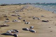 مرگ دوباره گربه ماهیها در ساحل جاسک / فیلم