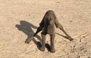 ویدئو جالب از شتر تازه متولد شده