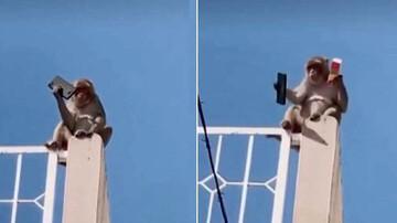 اقدام جالب میمون برای پس دادن موبایل/ فیلم