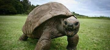 جاناتان لاکپشت ۱۸۸ساله؛ مسنترین حیوان روی خشکی / تصاویر