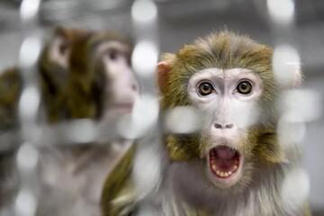 دانشمندان مخلوط انسان-میمون را خلق کردند!