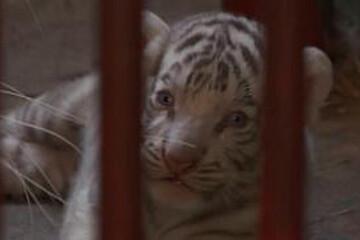 لحظه تولد توله ببر سفید و نادر در باغ وحش کوبا / فیلم