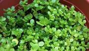 گیاهی مفید برای رفع تشنگی ماه رمضان