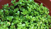 روزه داران برای رفع تشنگی این گیاه را مصرف کنند
