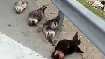 کشف سر ۴ الاغ در جنوب تهران/ گوشت این حیوانات کجا مصرف میشود؟/ فیلم