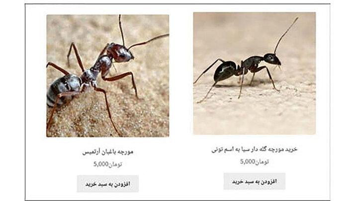 این آگهی کاملا واقعی است/ فروش مورچه گله دار! + عکس