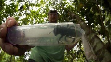 مشاهده زنبور غول پیکر پس از چهل سال/ عکس