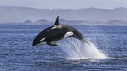 حقایقی جالب از زندگی نهنگ ها که از آن بی اطلاعید / تصاویر
