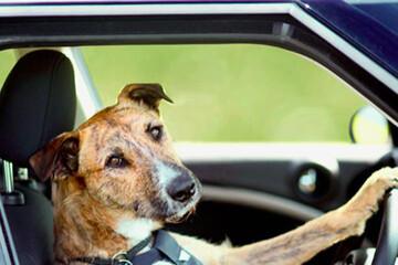 رانندگی یک سگ باهوش در نیوزلند / فیلم