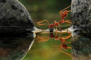 ویدئویی نادر و دیدنی از لحظه آب خوردن مورچه / فیلم