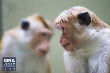ترکیب سلولهای انسان با جنین میمون / فیلم