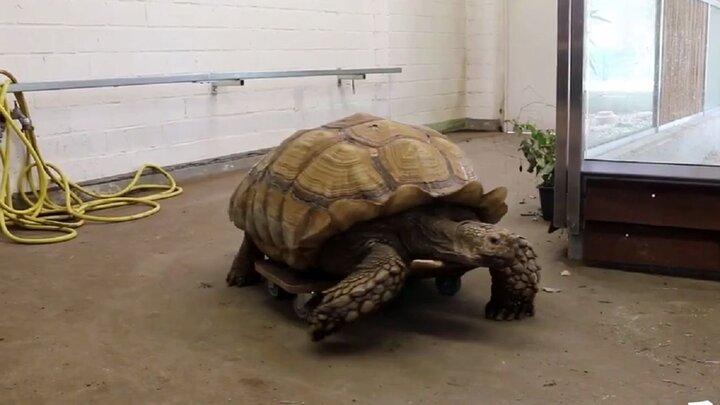 اسکیتبازی لاکپشت در باغ وحش / فیلم