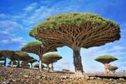 تصاویری از درخت «خون اژدها» / فیلم