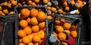 مقصر از بین رفتن هزاران تن میوه مازاد کیست؟
