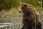 دویدن جالب خرس قهوهای در طبیعت / فیلم
