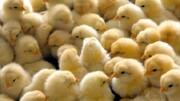 قیمت جوجه یکروزه به ۷۰۰۰ تومان رسید / هشدار درباره کاهش دوباره تولید مرغ در کشور