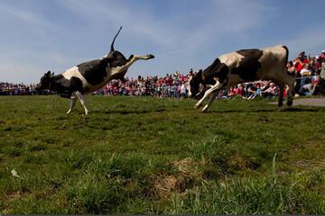 خوشحالی عجیب گاوها با آمدن فصل بهار / فیلم