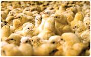 بحرانی که موجب گران شدن مرغ در ۴۰ روز آینده میشود