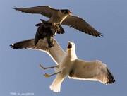 درگیری مرغ دریایی و شاهین در آسمان / تصاویر