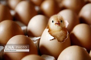 جوجه یکروزه ۷ هزار تومانی، چقدر مرغ را گران میکند؟