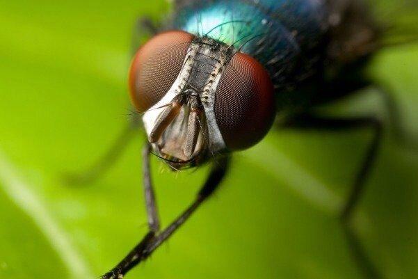 آیا مگسها کرونا را با خود حمل میکنند؟