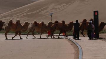 رونمایی از اولین چراغ راهنمایی و رانندگی برای شترها / عکس