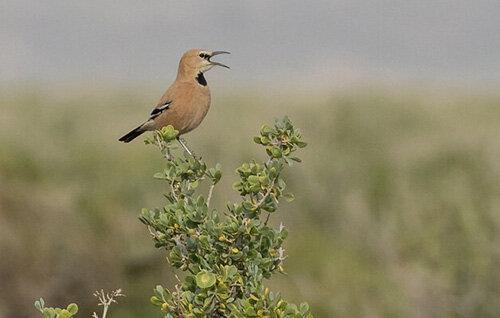 پرندهای که فقط در ایران وجود دارد / تصاویر