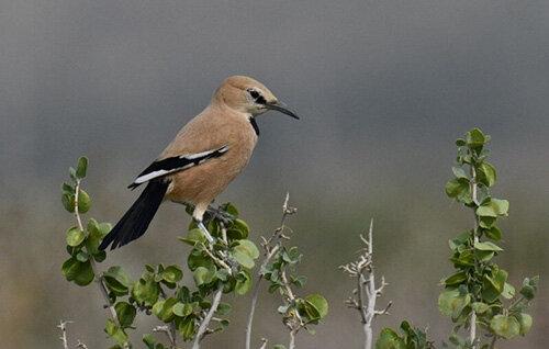 پرندهای که تنها در ایران وجود دارد