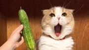 ترس عجیب گربهها از دیدن خیار! / فیلم